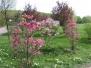 Magnolien 2013
