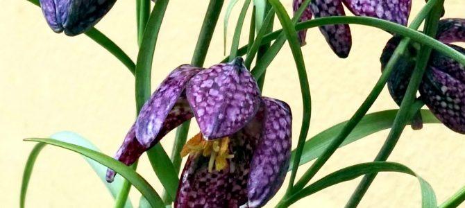 Die Blume des Monats April: Die Schachblume (Frittillaria meleagris)