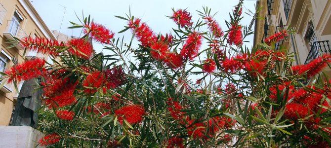 Pflanze des Monats Mai: Zylinderputzer (Callistemon)