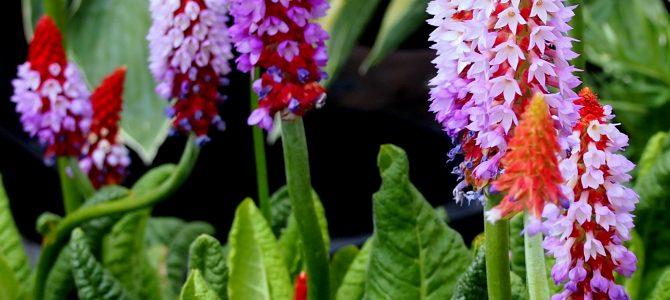 Pflanze des Monats Juni: Die Orchideen-Primel (Primula vialli)