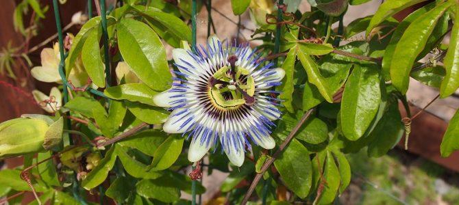 Pflanze des Monats August 2018: Die blaue Passionsblume (Passiflora caeruela)