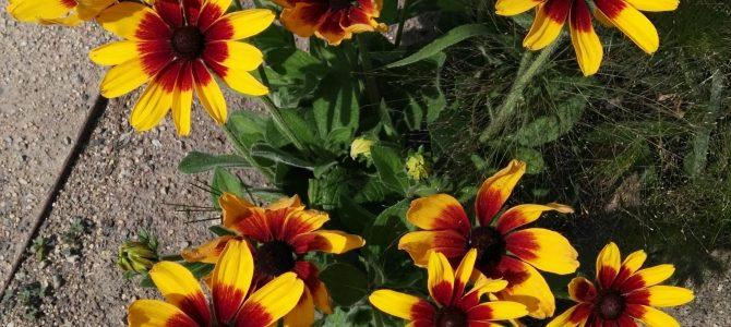 Pflanze des Monats September 2018: Die Sonnenhüte (Echinacea)