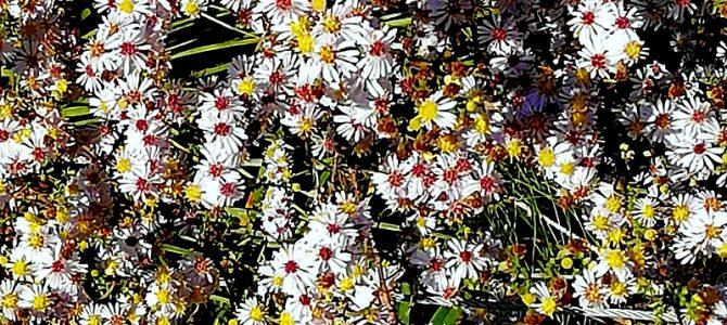 "Pflanze des Monats Oktober 2018: Aster ericoides ""Erlkönig"""