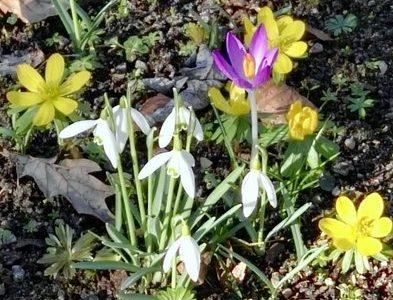 Die Pflanze des Monats März 2019: Das kleine Schneeglöckchen (Galanthus nivalis)