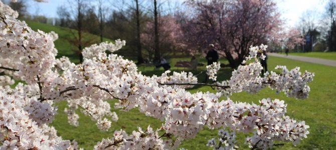 Pflanze des Monats April 2019: Die Japanische Blütenkirsche (Prunus serrulata)