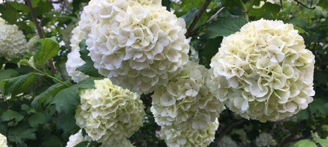 "Pflanze des Monats Mai 2019: Der Echte/Gefüllte Schneeball (Viburnum opulus ""Roseum"")"