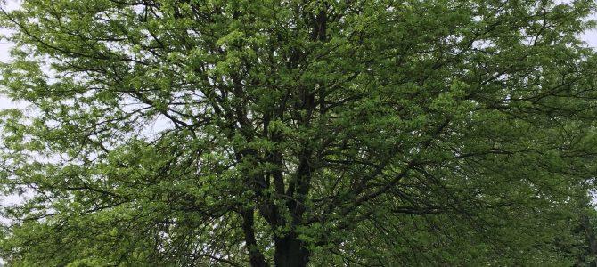 Die Pflanze des Monats Juni 2019 – Die Gleditschie