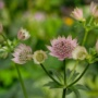 Pflanze des Monats August: Große Sterndolde, Strenze (Astrantia major L.)