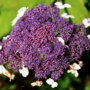 Pflanze des Monats September: Raue- oder auch Samt-Hortensie (Hydrangera aspera D.Don aggr.)