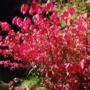 Pflanze des Monats Oktober: Flügel-Spindelstrauch (Euonymus alatus (THUNB.) SIEB.)