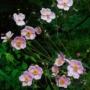 Pflanzen des Monats November: Herbst-Anemonen