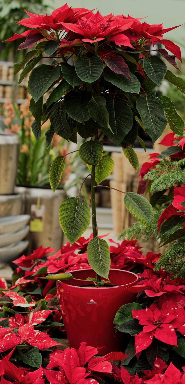 Pflanze des Monats Dezember: Der Weihnachtsstern