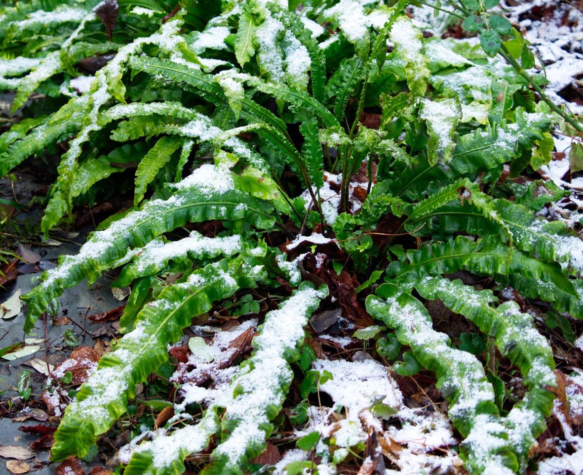 Pflanze des Monats Februar: Hirschzunge, Hirschzungenfarn (Asplenium scolopendrium L., bisher Phyllitis sc.);
