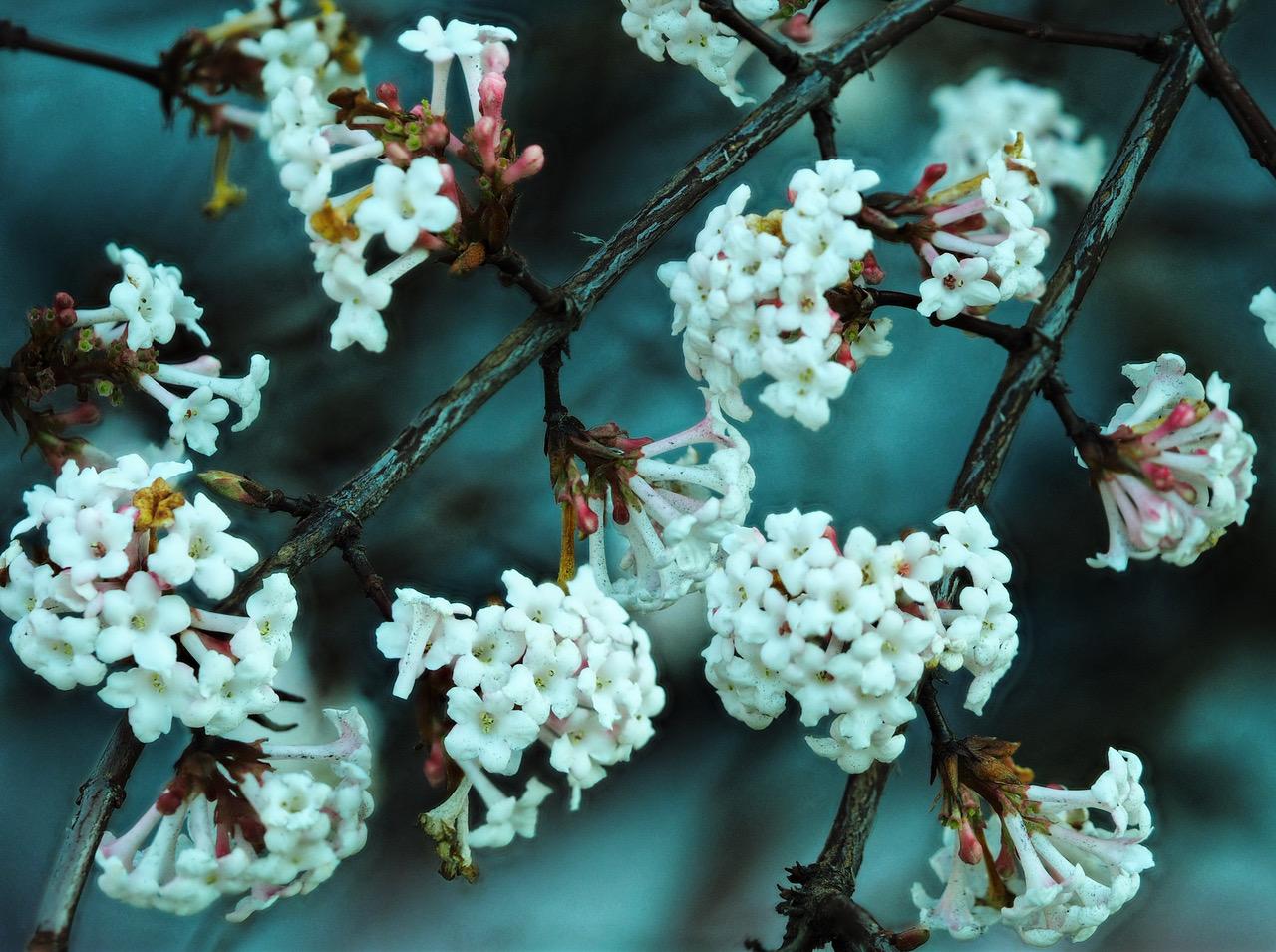 Pflanze des Monats Januar: Der Duftende Schneeball (Viburnum farreri STEARN, syn.: V. fragrans BUNGE non LOISEL)
