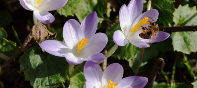 Pflanze des Monats März: Der Dalmatiner- oder Elfenkrokus (Crocus tommasinianus HERB.)