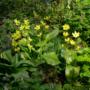 Pflanze des Monats Mai: Forellenlilie oder Hundszahn (Erythronium L.)