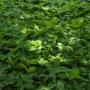 Pflanze des Monats Juni: Giersch, Geißfuß oder Podagrakraut (Aegopodium podagraria L.)