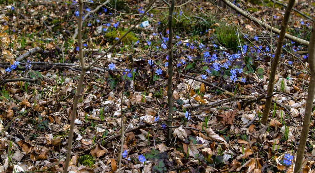 Ein Vorkommen von Hepatica (Leberblümchen) in der freien Natur
