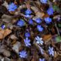 Pflanze des Monats April: Leberblümchen (Hepatica Mill.)