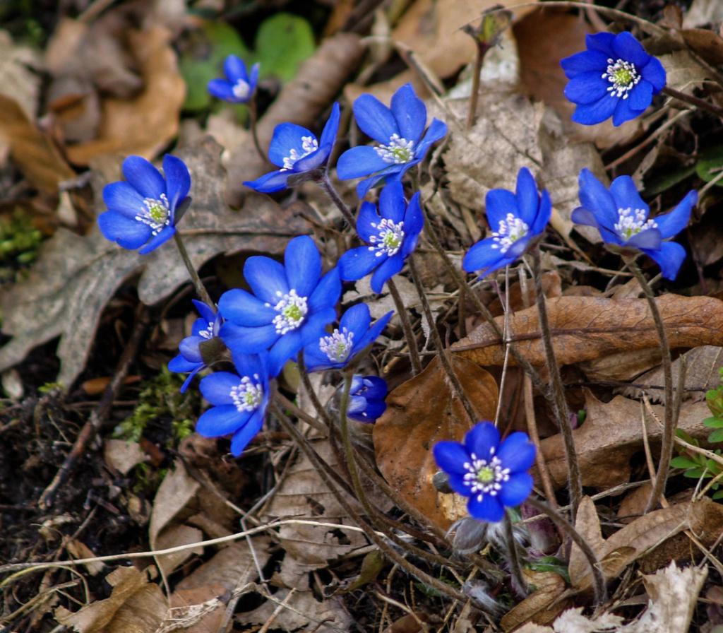 Blau-weiße Leberblümchen