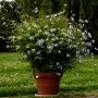 Pflanze des Monats August: Kap-Bleiwurz (Plumbago auriculata LAM.)