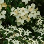 Pflanze des Monats Juli: Der Japanische Blüten-Hartriegel