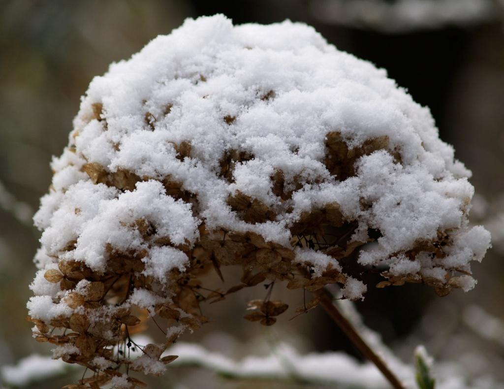 Verblühte Hortensie im Schneekleid