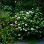 Pflanze des Monats September: Die Baumartige, Strauch- oder Wald- auch Schneeball-Hortensie ( Hydrangea arborescens L.)