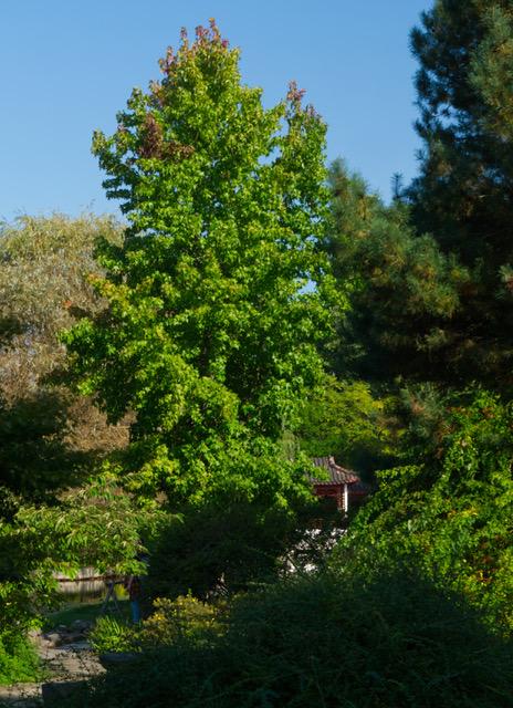 Amberbäume erreichen stattliche Größen, hier im Chinesischen Garten