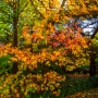 Pflanze des Monats Oktober: Der Amerikanische Amberbaum
